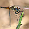 Up Close & Personal With A Female Blue Dasher