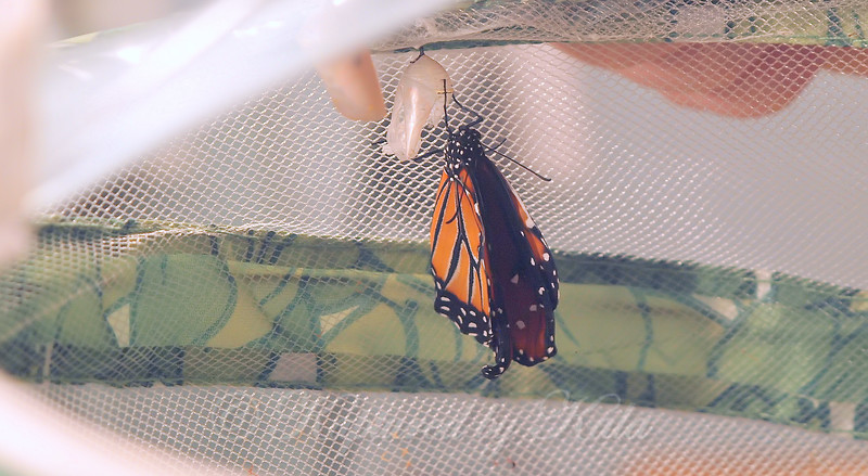 Newly Eclosed Queen Butterfly