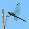 Slaty Skimmer Close Up