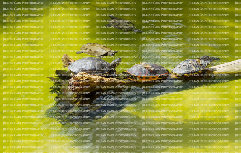 Turtles basking and swimming on a sunny day