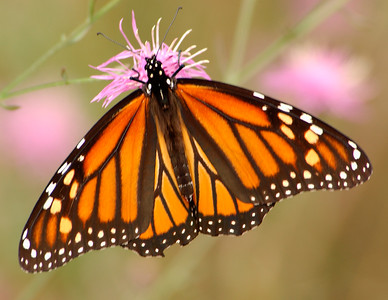 Monarch Butterfly on a Flower - Michigan 2003