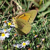 Male Orange Sulphur