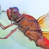 Neon Skimmer Close Up