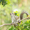 Cute eastern gray squirrel looking up as it balances on a tree branch.
