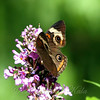 Common Buckeye View 3