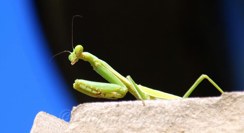 Female Carolina Mantis