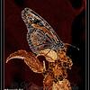 Migrating Monarch on Lantana