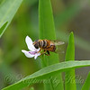 Flower Fly On American Waterwillow View 1