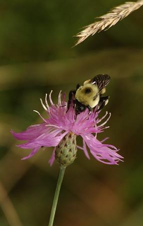 Bee on Flower - Michigan's Upper Peninsula