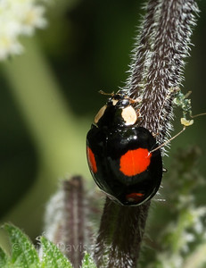 Harlequinn Ladybird 2