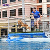 "Beautiful golden retriever chases a ""prey"" and jumps into the splash pool."