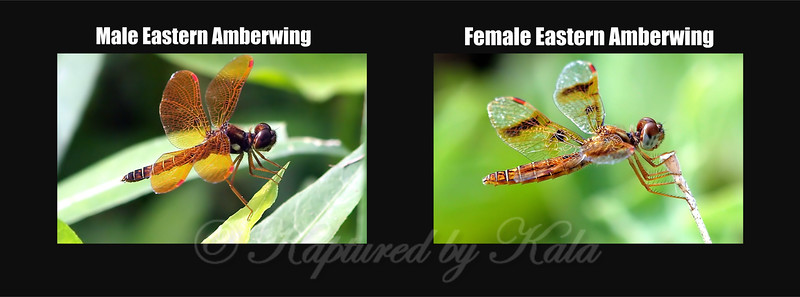 Comparision Of Male And Female Eastern Amberwing