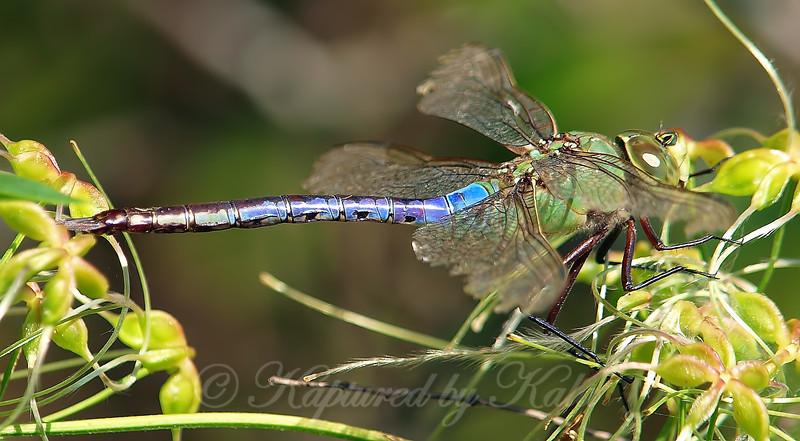 Side View Common Green Darner