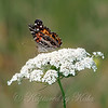 American Lady Butterfly View 2