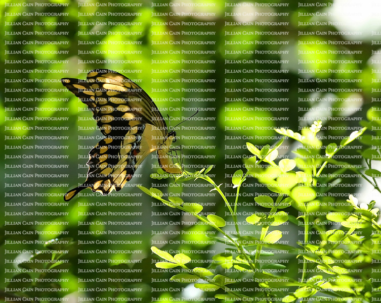 A Giant Swallowtail arches her abdomen and lays an egg on wild lime leaves while flying.