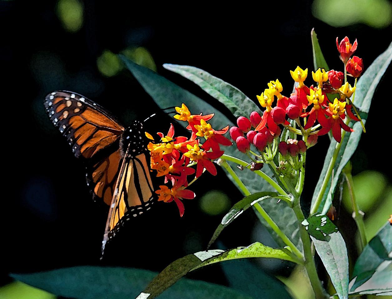 Monarch Butterfly in Watercolor Sugar Land, TX