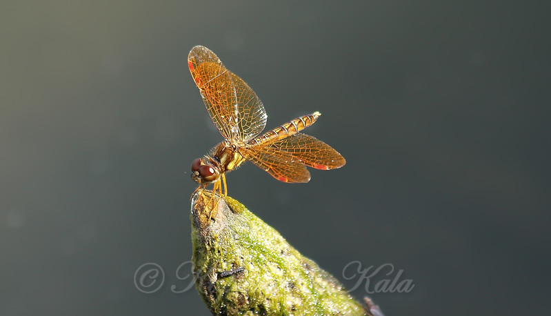 Tiny Amberwing On A Little Mossy Rock