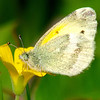 Dainty Sulphur Butterfly On Yellow Wildflower