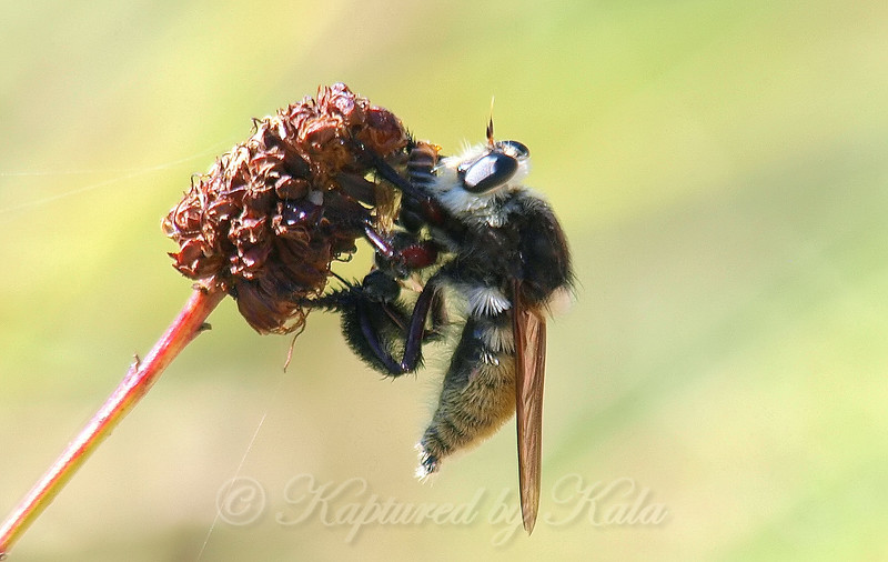 Bee Killer Robber Fly Having A Snack