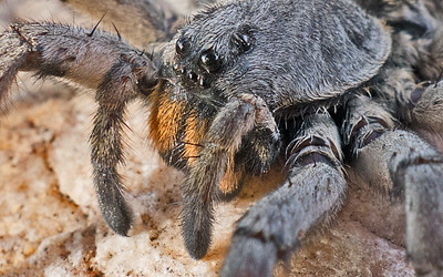 Wickedly Weird Wolf Spider