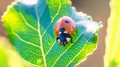 Sunset ladybug...