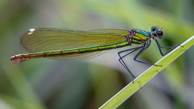 Banded Demoiselle ♀ (Calopteryx splendens)