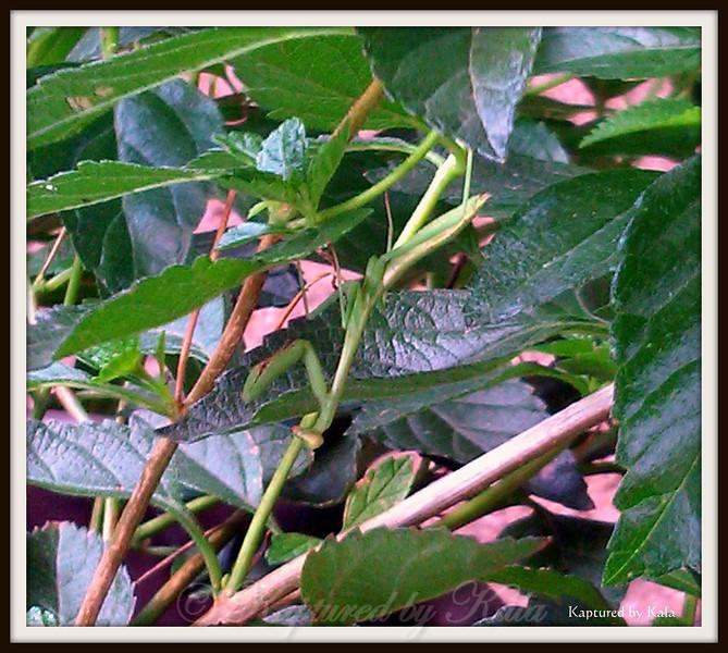 Female Praying Mantis on Lantana