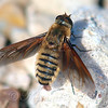 Lucifer Bee Fly