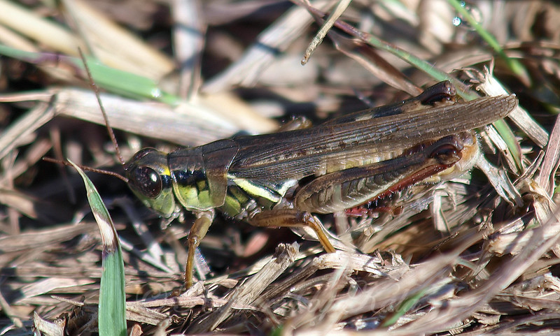 Green Form Red-legged Grasshopper