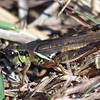 Green Form Red-legged Grasshopper