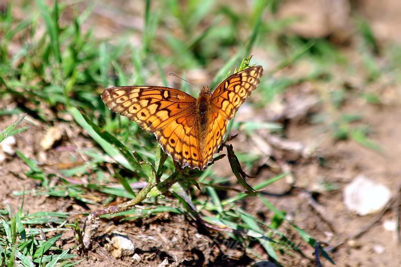 Variegated Fritillary On Grass Stalk