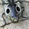 Eastern-Eyed Click Beetle View 3