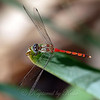 Male Blue-Faced Meadowhawk