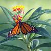 Odd Looking Monarch