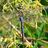 Common Green Darner's Tattered Wings