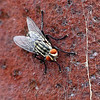 Flesh Fly On Red Sandstone