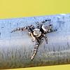 Carolina Jumping Spider