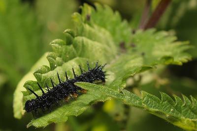 Aglais io - larvae