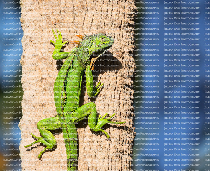 Cold blooded green iguana clings to a palm tree as he warms himself in the sunshine.