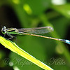 Rambur's Forktail Damselflies Are Like Tiny Jewels