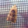 Chalcedony Midget Moth