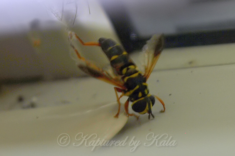 I Thought It Was A Yellowjacket