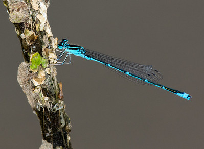 Damselfly resting on a branch. Nikon D7100, Nikon 300mm AF-S w/ TC-14eII Lighting by single strobe and ambient light.