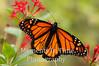 Monarch wings spread