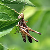 Peekaboo Grasshopper