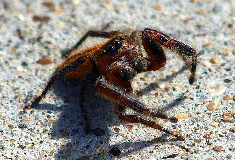 Male Pius Jumping Spider View 1