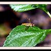 Tiny gold fly with iridescent wings