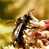 Bee on Milkweed.
