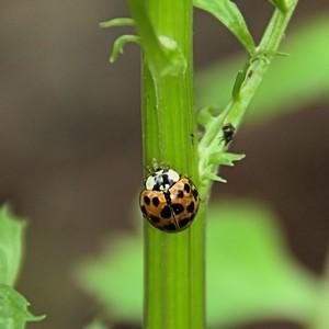 Coccinellidae - Ladybug
