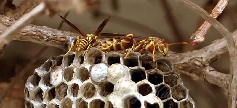 Social Wasps